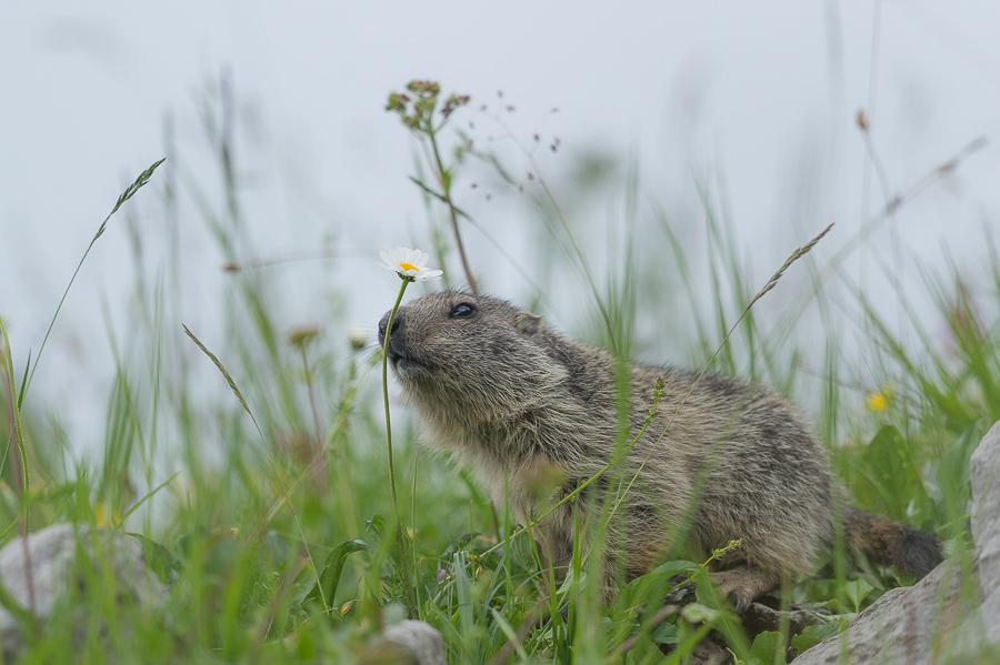 marmotte des Alpes - Marmota marmota_juil.2014