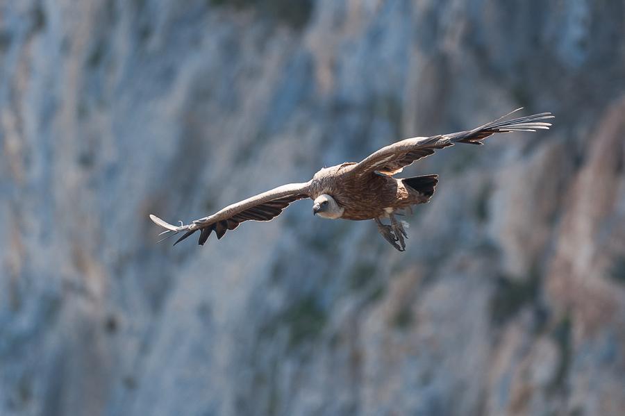 vautour fauve - Gyps fulvus fulvus_avr.2011